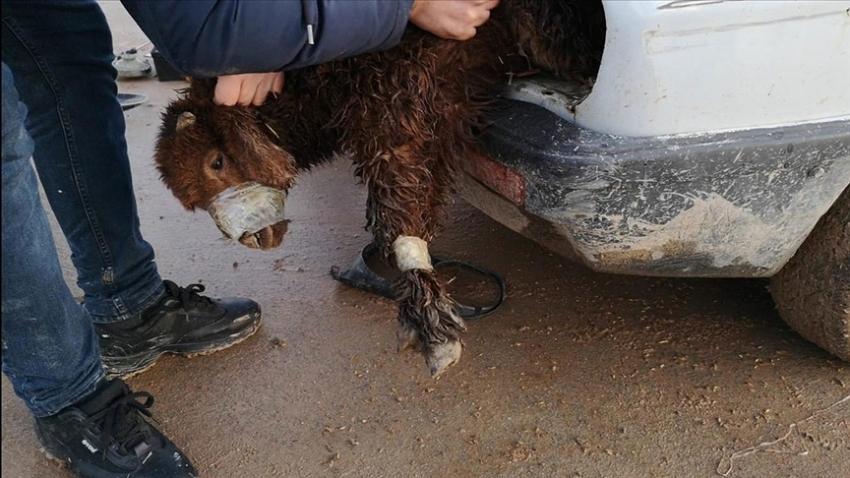 Akçakale Gümrük Kapısı'nda otomobilin motor bölümü ve bagajına gizlenmiş 4 kuzu bulundu
