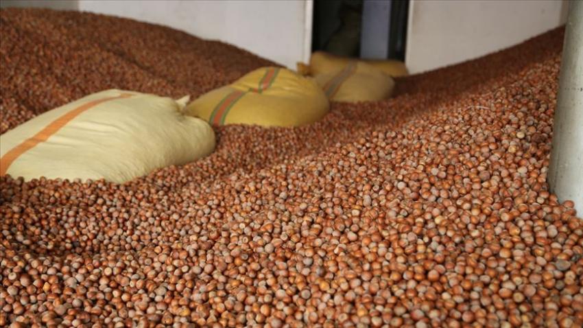 Türkiye fındık üretimini 776 bin tona çıkardı