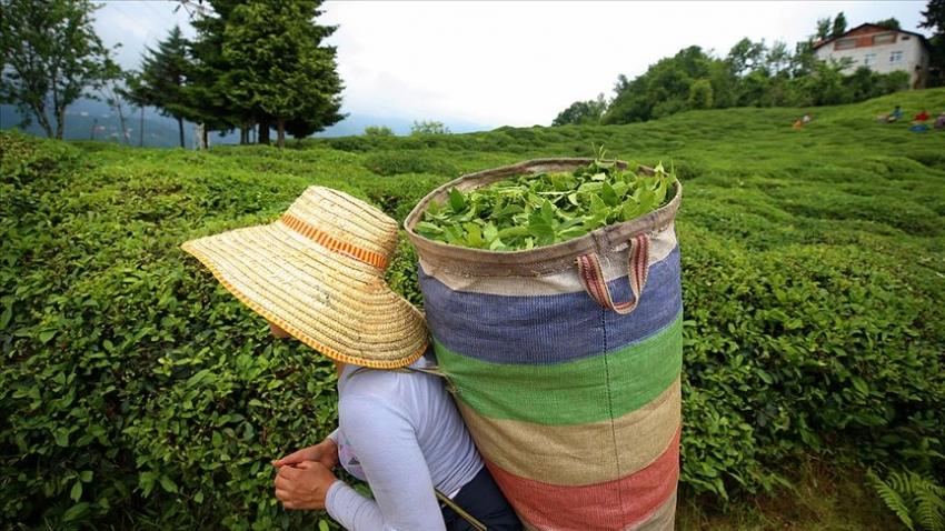 ÇAYKUR ağustos ayı yaş çay bedellerini ödedi