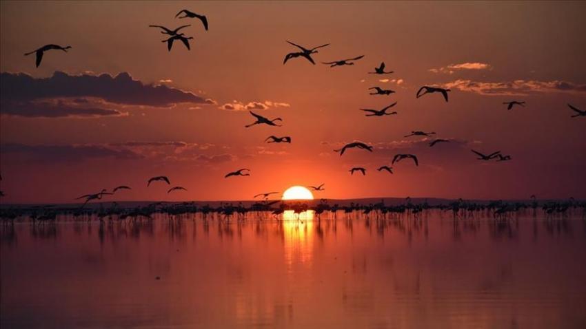 Flamingoların göçü başladı