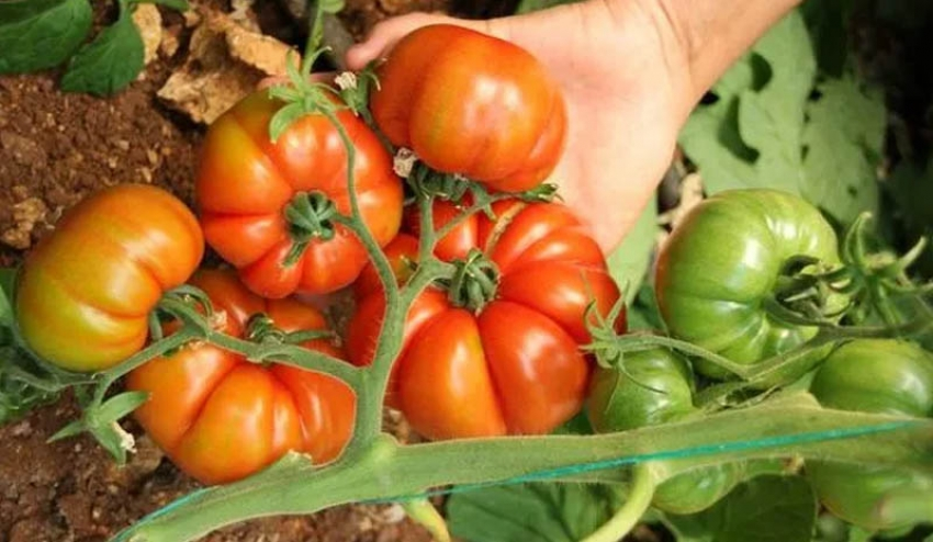 Guldar domatesi için coğrafi işaret hazırlığı