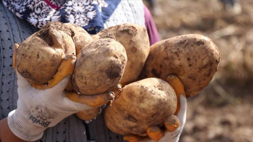 İki yeni yerli patates çeşidinin hasadı yapıldı