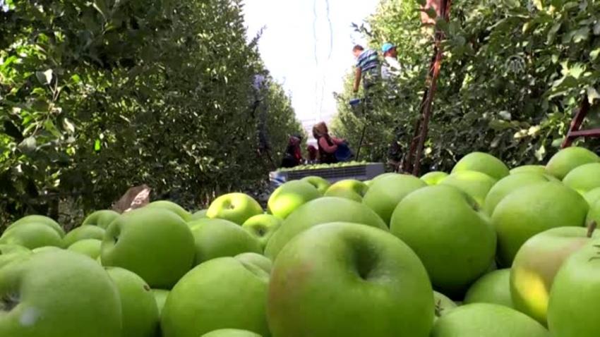 Isparta'da elma hasadına başlandı
