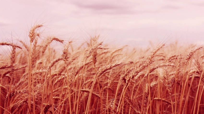 İTB'den kızıl buğday projesi