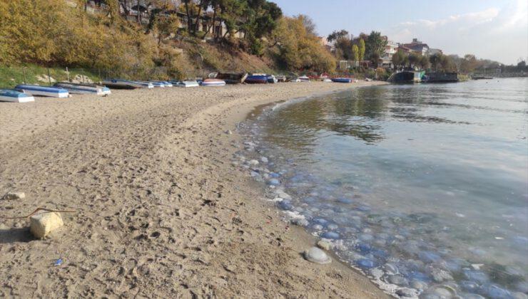 Marmara sahillerinde denizanası yoğunluğu