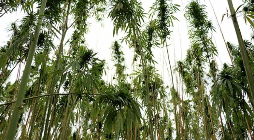 Samsun'da kenevir tohumu hasadı başladı